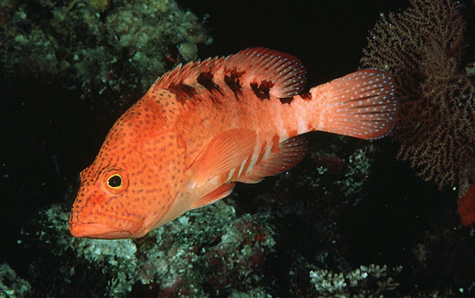 The Niger Hind is an eastern Atlantic fish species usually found along the west African coast
