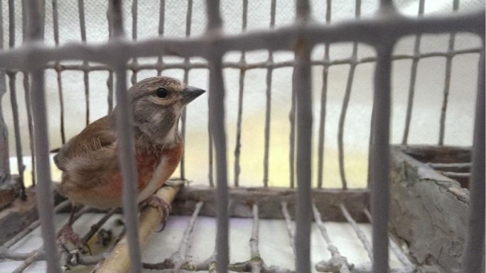 While finch trapping was outlawed in the EU in 2009, Malta introduced a derogation in 2014 that meant seven species of finch could still be trapped under strict conditions