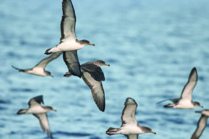 The Scopoli's Shearwater is a seabird which breeds in the Maltese Islands (Photo by Aron Tanti)