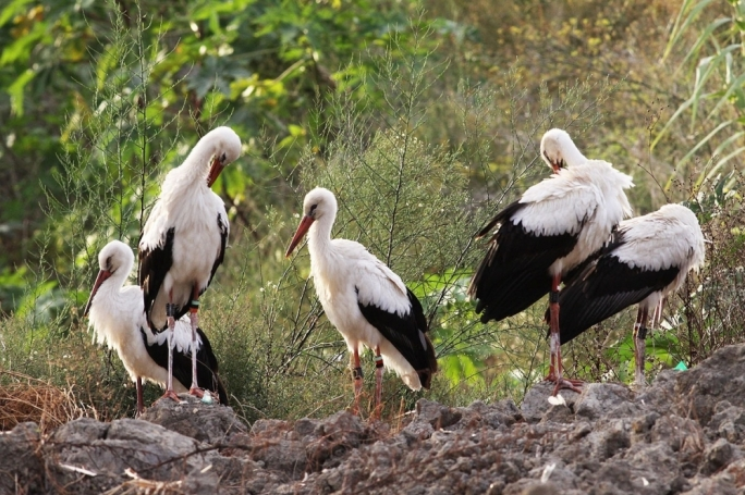 The white storks photographed by Raymond Galea