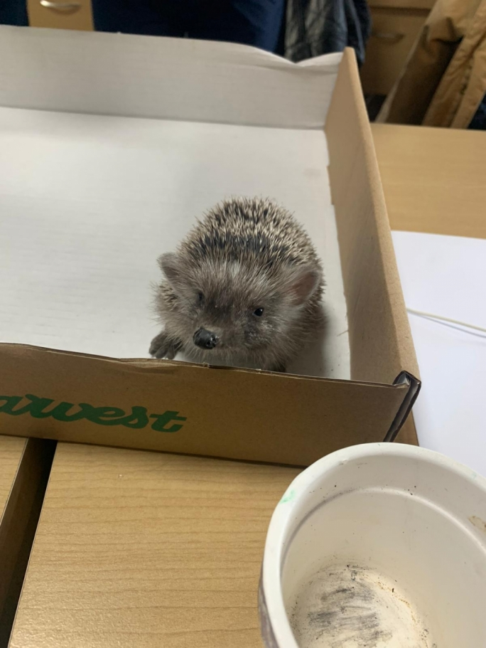 The hedgehog was eager to leap out of the box minutes within getting acquainted with the newsroom
