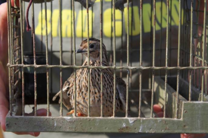 Malta trappers told to 'catch and release' birds in new ruse to skirt EU ban