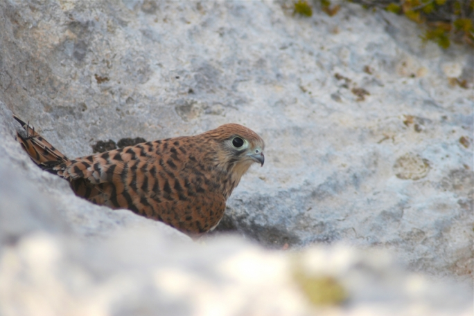 [WATCH] Kestrel chicks hatch in Malta for the first time in four years