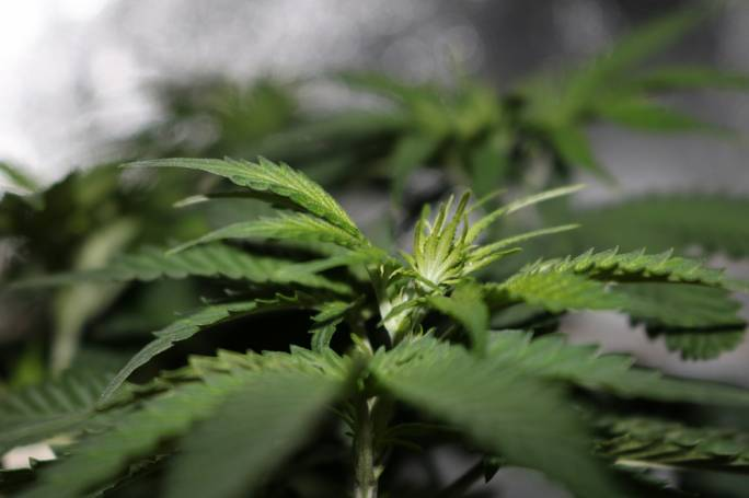 Two arrested in Zejtun cannabis bust