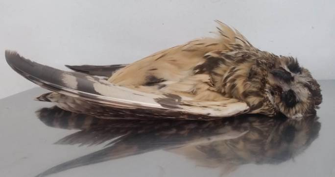 An illegally shot short-eared owl (Photo: Birdlife Malta)