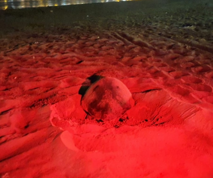 The second turtle to nest at Ghadira and the fourth to do so in Malta this year (Photo: ERA)