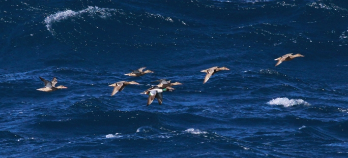 Migrating Shovelers at Ċirkewwa (Photo: Ray Galea)