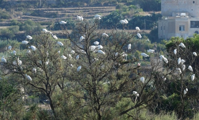 Flock of little egrets at Simar Nature Reserve - Mario V. Gauci