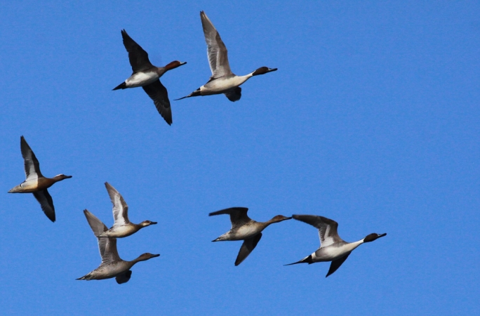 Pintails, Wigeons and Garganeys at Ċirkewwa (Photo: Ray Galea)