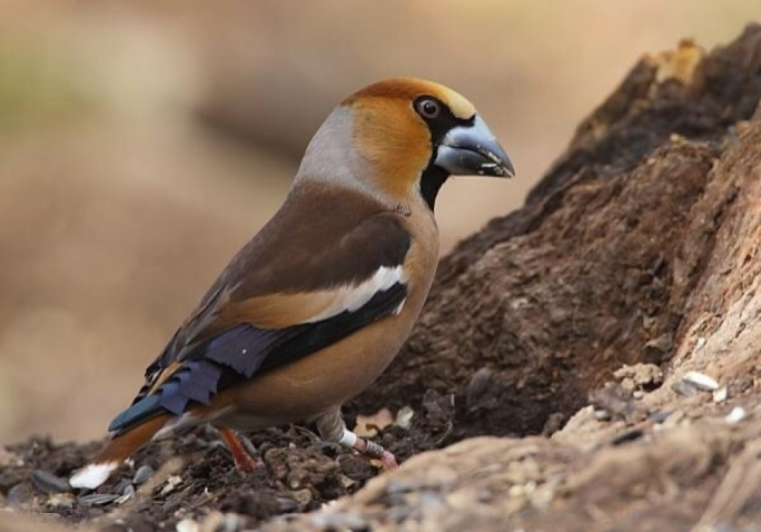 A hawfinch, bought in Sicily for €10 or €20, is easily sold for €150 in Malta