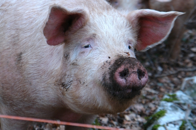 Pig manure can become a very costly problem for Malta