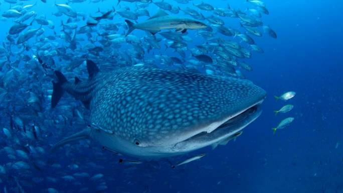 Divers from all over the world come to Koh Tao in the hope of catching a glimpse of the majestic whale sharks that live in these waters