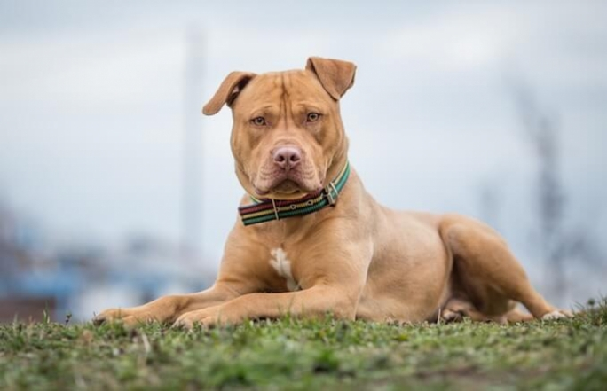 An American Pit Bull Terrier, a common pit bull breed (Stock photo)