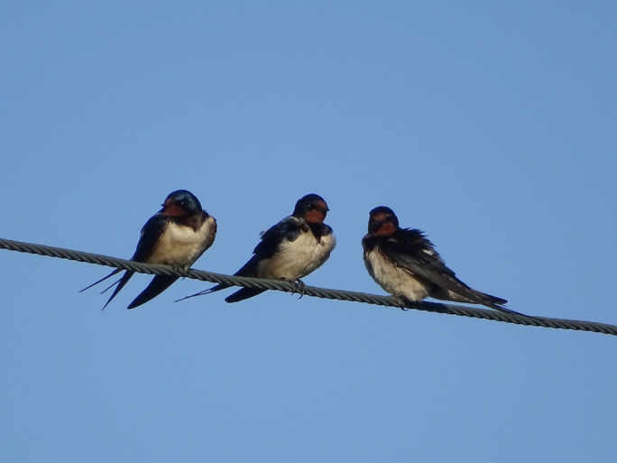 Barn Swallows are known as the harbingers of spring in Europe (Photo by Alvin Farrugia)