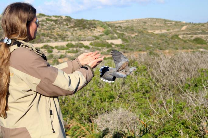 [WATCH] BirdLife Malta embarks on ambitious turtle dove satellite tagging project