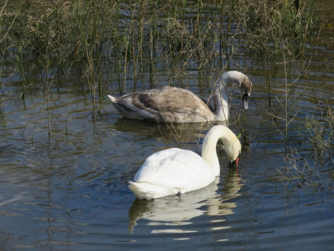 Swans leave Marsalforn Valley after month and a half