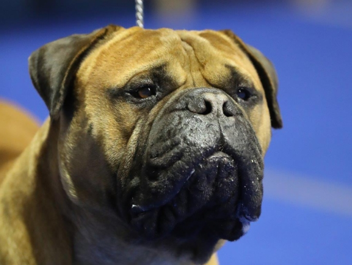 Underdogs shine at Malta's first bull breed dog show