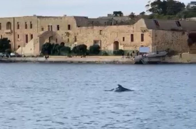 [WATCH] Bottlenose dolphins spotted in Marsamxett amid COVID-19 calm