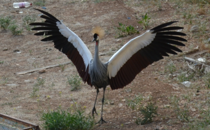 The Crowned Crane belongs to San Anton Gardens, but it escaped its enclosure and landed in nearby Balzan