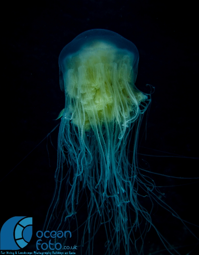 The jellyfish's bell diameter can reach a maximum of 60cm