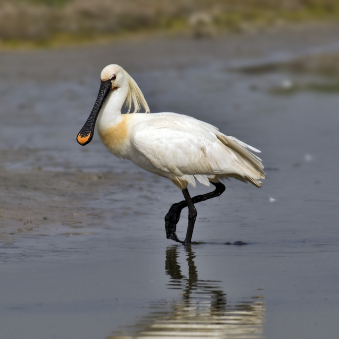 The eurasian spoonbill was one of the birds that stopped in Malta en route to Africa