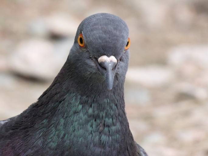 Wild pigeons in urban areas are a cause for concern for local councils