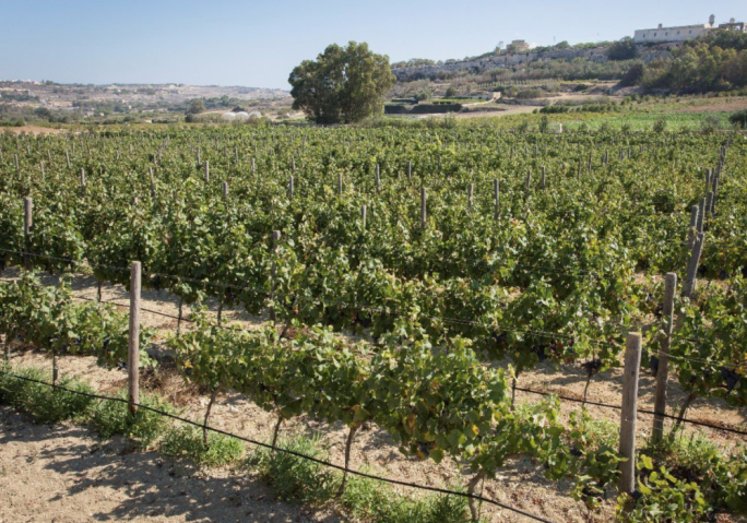 The Far Brettel Estate is made up of a vineyard occupying 33,550 sq.m of land in the outskirts of Rabat