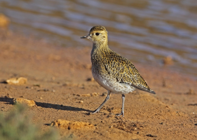 Changes to Malta trapping season risks referral to EU court – BirdLife