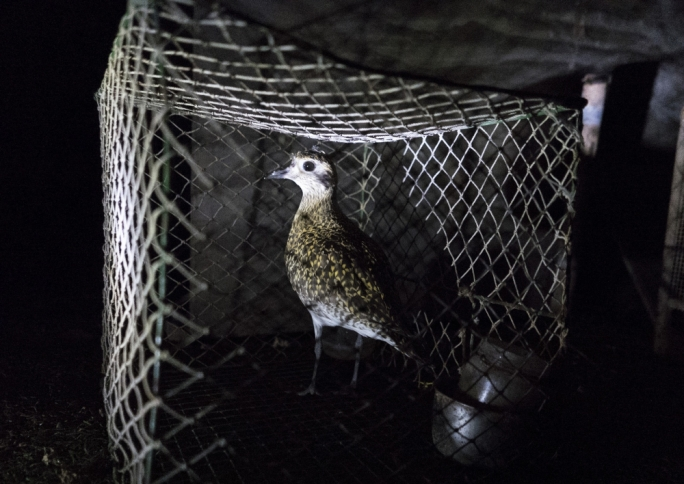 Golden Plovers are mostly nocturnal, CABS press officer Axel Hirschfeld said