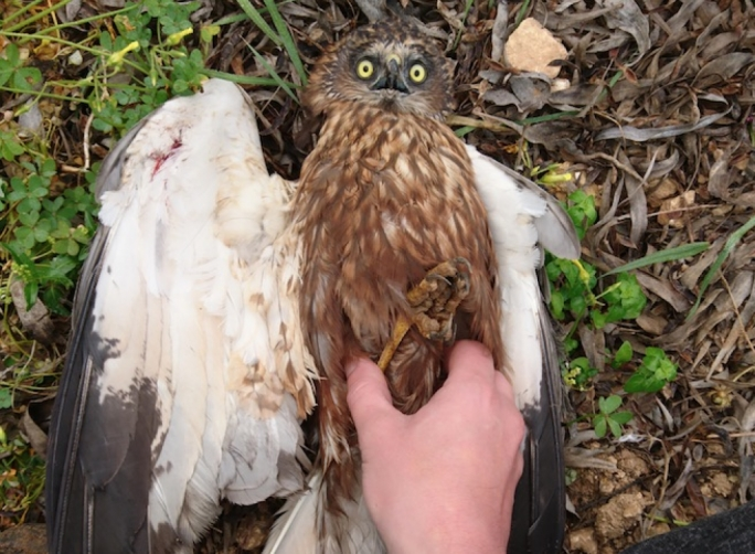 The protected marsh harrier was shot in its right wing. Photo: BirdLife Malta