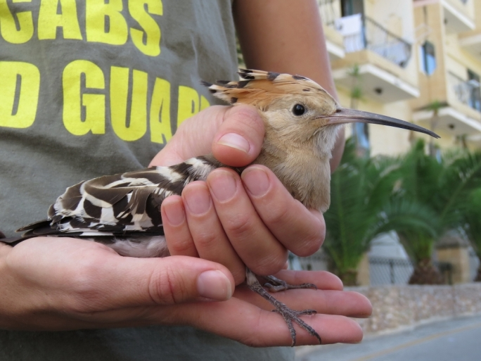 Protected Hoopoe found shot near Fawwara