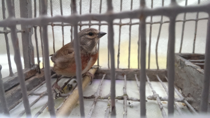 A trapped linnet. Photo: BirdLife