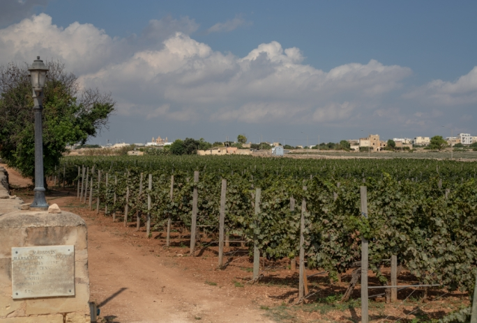 Record late harvest for grapes due to longer Maltese winter
