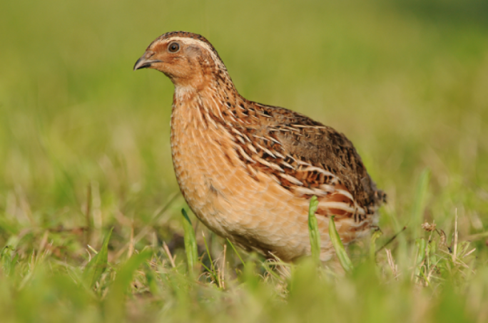 Hunters are only permitted to hunt for quail during the hunting season