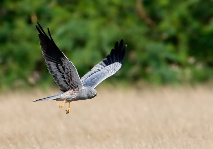 File photo: The Montagu's harrier is a protected bird