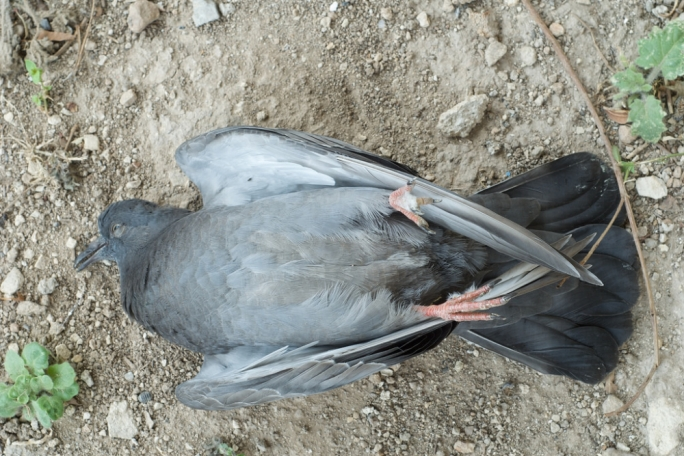 The planned pigeon cull in the streets of Birgu has been abandoned