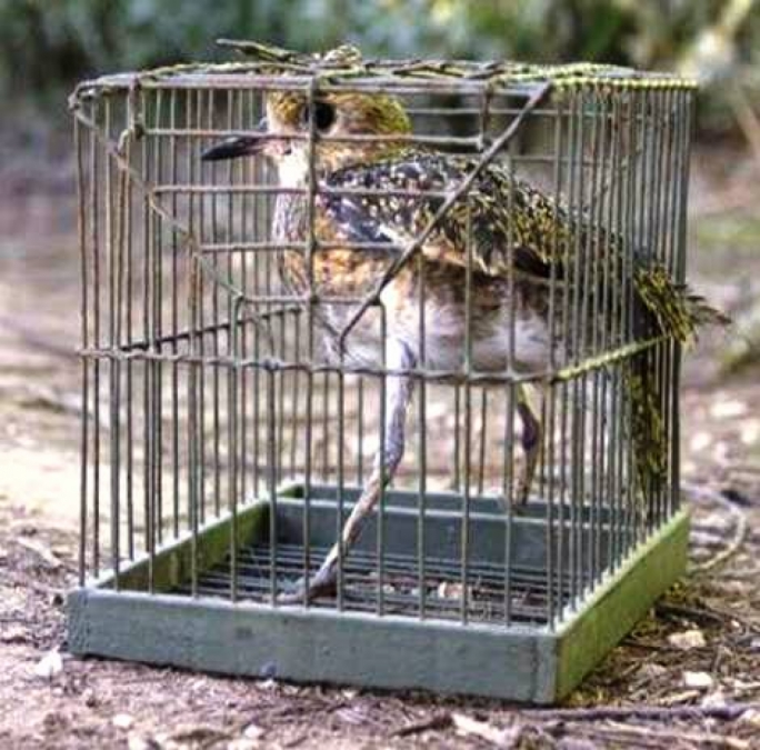 Trappers will never trap golden plovers in such small cages, according to the FKNK
