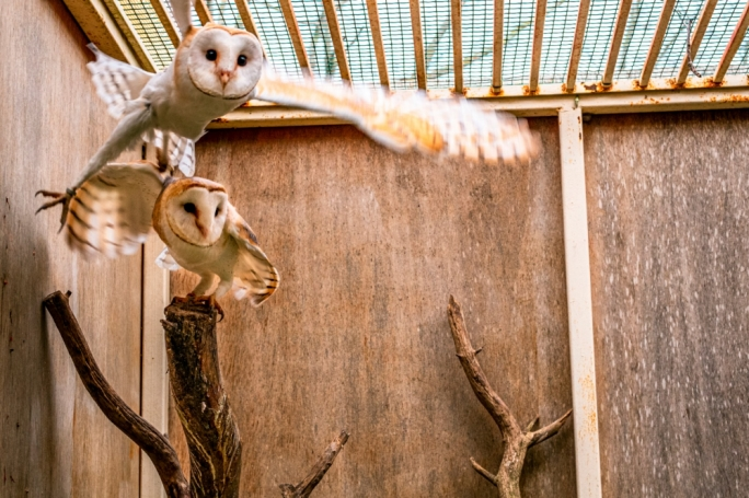 Conservationists are hoping that Tyto and Alba will mate successfully so that their offspring can then be introduced back into the wild