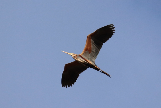 Purple Herons start migrating in April, you can see them at one of BirdLife Malta's nature reserves, where this photo was taken (Photo by Mario V Gauci)