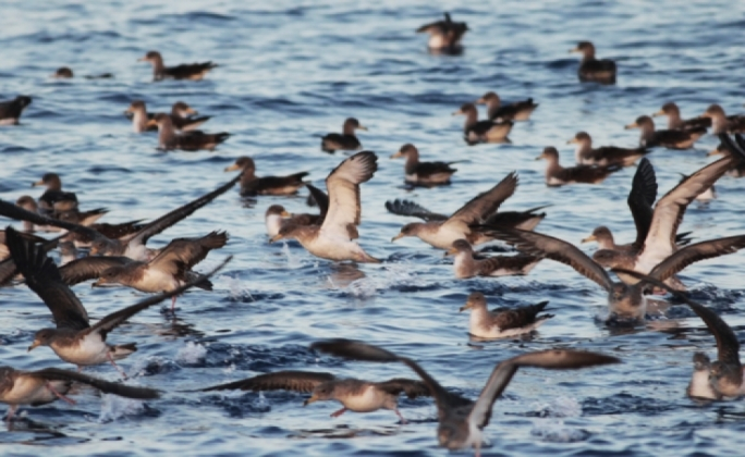 Witness the spectacle of Malta's shearwater birds up close and at sea