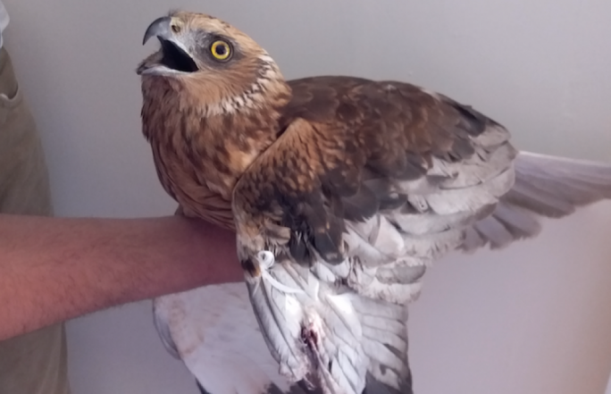 A marsh harrier was found shot next to the Ghasri main road which leads to Ta' Pinu in Gozo