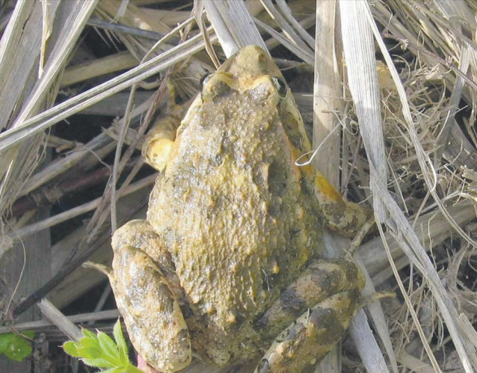 The biggest threat for the frog in Malta comes from the destruction of its habitat