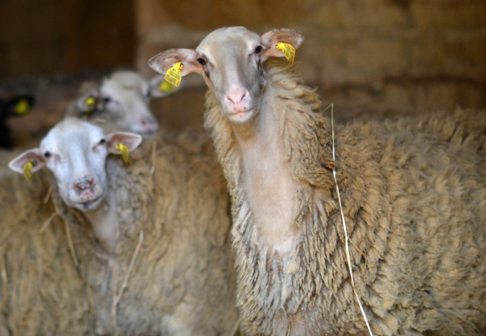 Milking it: sheep-rearing could allow young farmers take on their parents' farms
