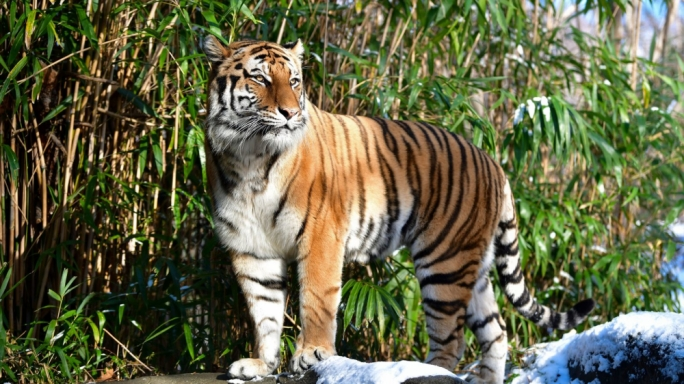Tiger tests positive for coronavirus