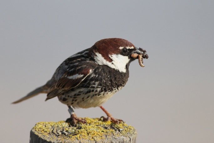 Male Spanish Sparrow bringing food to its young. Photo: Aron Tanti