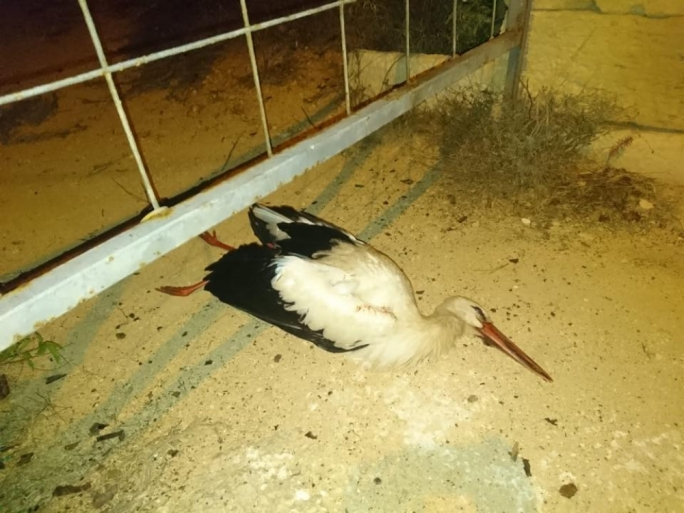 Three white storks were shot down by a hunter on Friday night