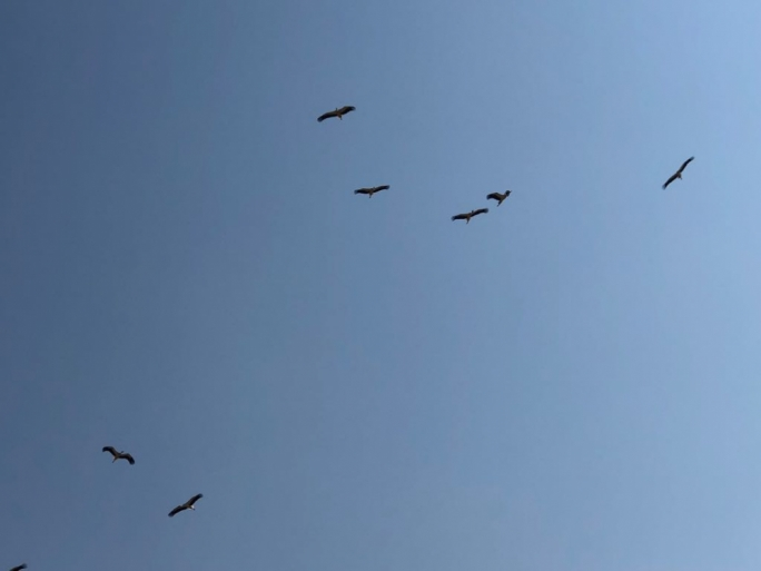 The storks soaring over Zebbug this morning as they make their way to North Africa