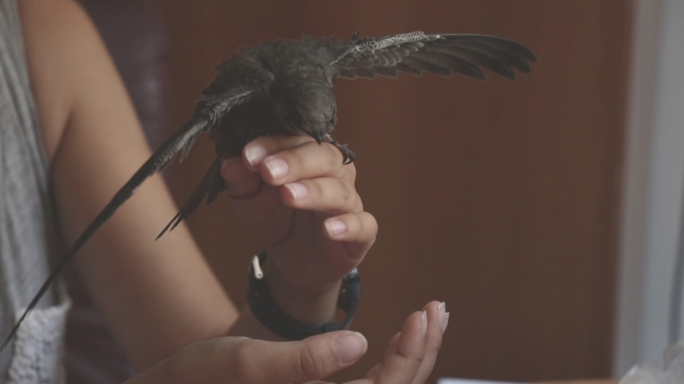 Swifts are highly aerial and amongst the fastest of birds
