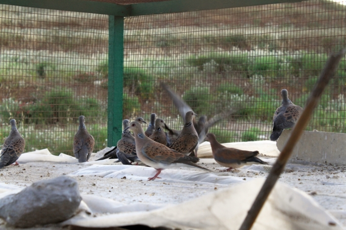 Turtle Doves found in an illegal cage trap in Gozo. Photo: CABS