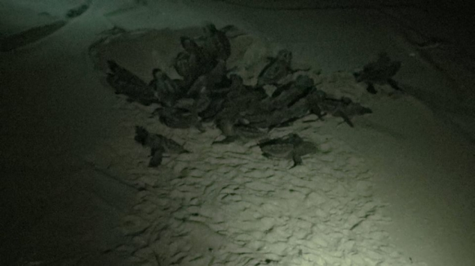 62 turtle eggs hatch successfully at Ramla l-Ħamra
